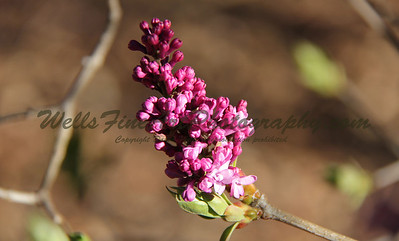 Lilac buds at Descanso Gardens