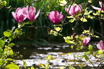 Magnolia blossoms in front of pond at Descanso Gardens