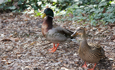 Mallards at Descanso Gardens