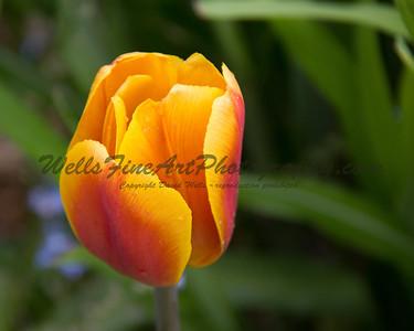Yellow-orange tulip at Descanso Gardens