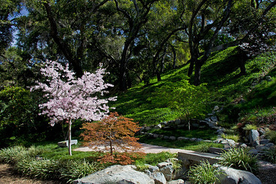 Cherry trees against green hill at Descanso Gardens