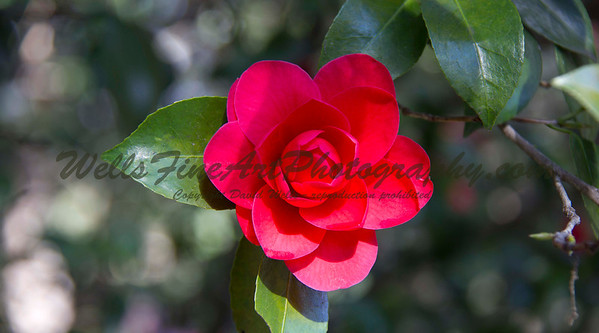 Red Camelia perfection at Descanso Gardens
