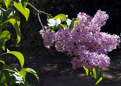 Purple lilac at Descanso Gardens