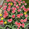 "March 29, 2016<br /> <br /> Tulips<br /> <br /> ""BOUNTIFUL BLOOMS EXHIBITION"" 2016<br /> March 1, 2016 - April 17, 2016<br /> Dixon Gallery and Gardens<br /> 4339 Park Avenue<br /> Memphis, TN 38117<br /> Office: (901) 761-5250<br /> <br /> Official website: <a href=""http://www.dixon.org"">http://www.dixon.org</a>"