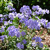 "March 29, 2016<br /> <br /> Wild Blue Phlox or Wild Sweet William (Phlox diveracata) <br /> <br /> It appears as a mass of flowering stems up to 15 inches tall. With beautiful, fragrant, soft blue flowers in 5 inch clusters, it is a must for any woodland or shade garden and is a staple spring flower for the Dixon Gallery and Gardens.<br /> <br /> ""BOUNTIFUL BLOOMS EXHIBITION"" 2016<br /> March 1, 2016 - April 17, 2016<br /> Dixon Gallery and Gardens<br /> 4339 Park Avenue<br /> Memphis, TN 38117<br /> Office: (901) 761-5250<br /> <br /> Official website: <a href=""http://www.dixon.org"">http://www.dixon.org</a>"