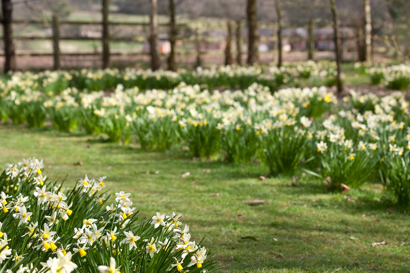 Daffodils at Dorothy Clive Garden
