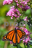 Monarch2362