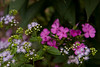 Ageratum (a passalong plant from cousin Nancy) and pholx