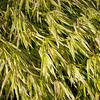 Hanacholea grass in fall