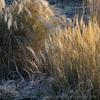 Ornamental grasses, late November