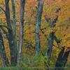 Maples on back border #1