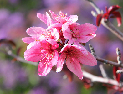 Crabapple blossoms on purple
