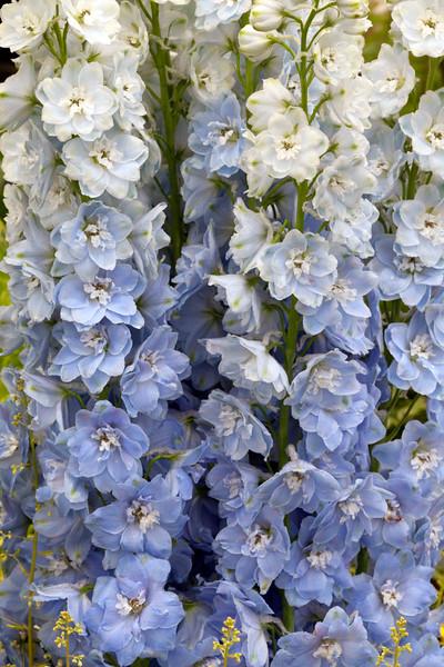 Delphinium 'Dewi Bay Light Blue'