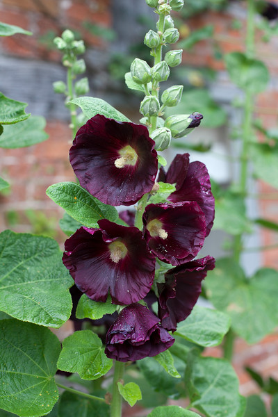 Alcea at Wollerton Old Hall