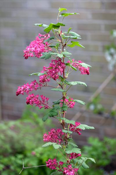 Ribes Sanguineum 'Pulborough Scarlet'