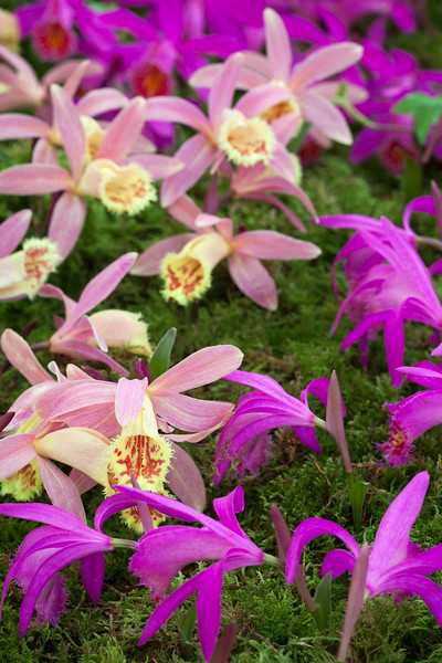 Pleione Orizaba 'Fish Eagle'