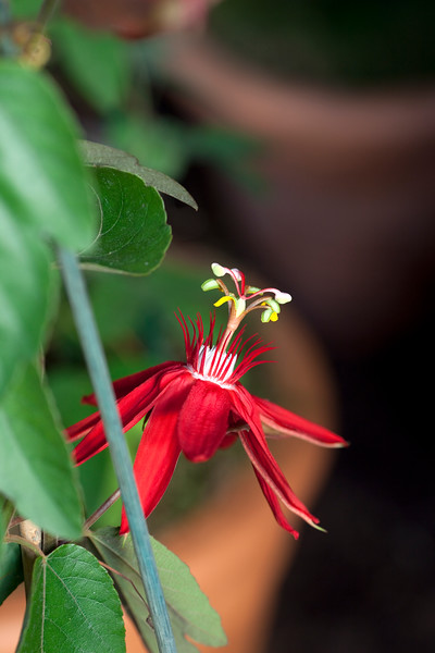 Passiflora Vitifolia 'Scarlet Flame'