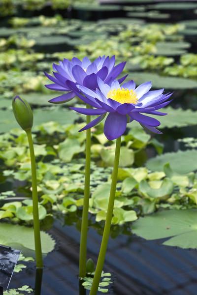Nymphaea 'Kew's Stowaway Blues'