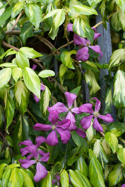 Clematis 'Margot Koster' and Hedera Helix