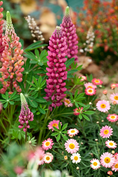 Lupins and argyranthemum
