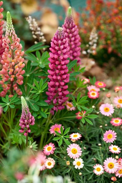 Lupins and argyranthemum