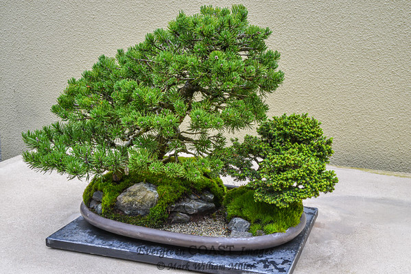 Bonsai: Pine and Spruce