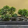 Bonsai: Chinese Banyan