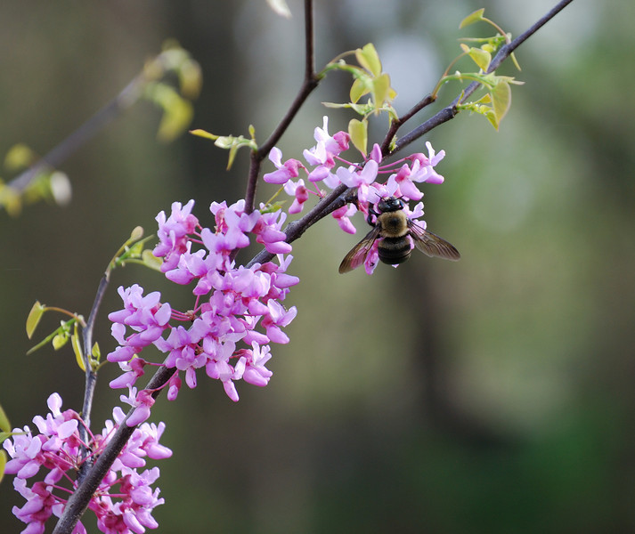 Bumblebee on the redbud tree.