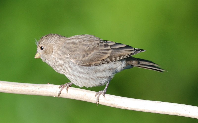 Juvenile House Finch