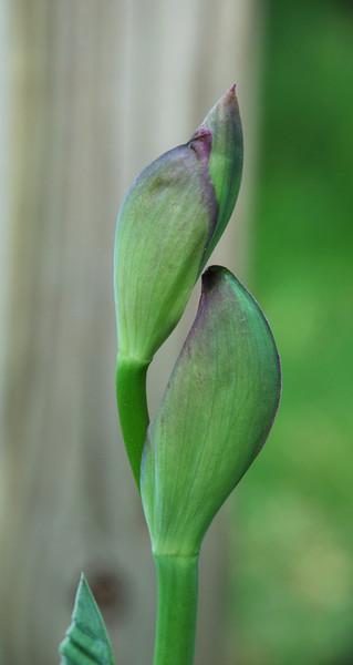 Iris buds.