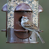Sparrow snacking at the feeder.