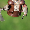 House Finch Family
