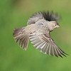 House Finch in flight.
