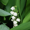Lily of the Valley - 04/30/2011