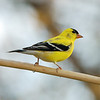 Male Goldfinch
