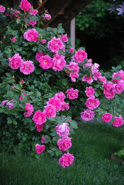 Apple Blossom Rose Bush