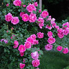 Apple Blossom Rose Bush