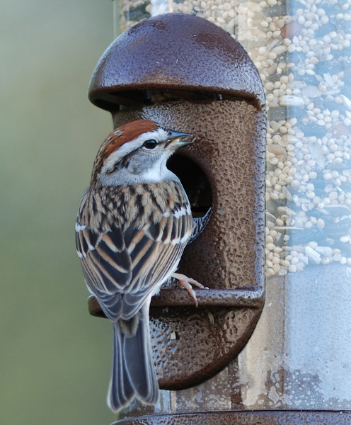 Chipping Sparrow - 04/24/2011