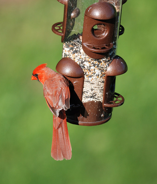Male Cardinal at the feeder.