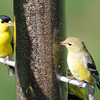 Goldfinch couple dining together - 04/24/2011