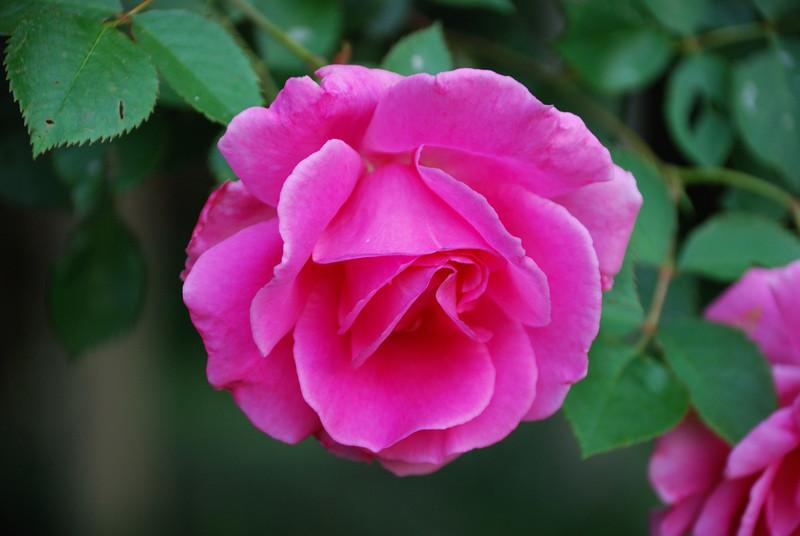 Apple Blossom Rose