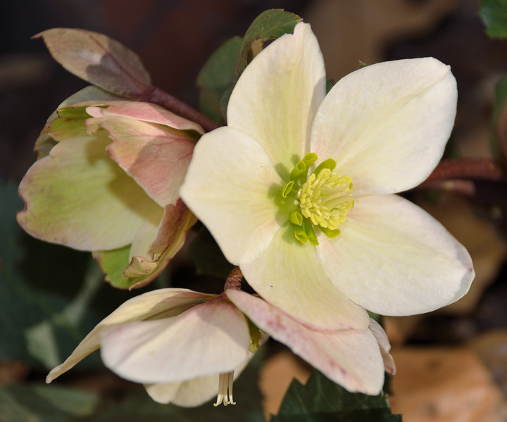Pink Frost Lenten Rose  (Hellebore) - First bloomed January 28,2012.