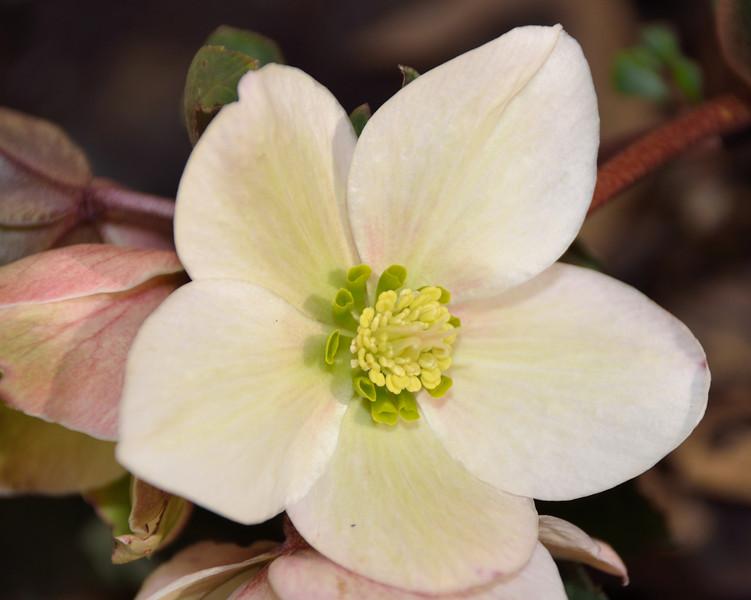 Pink Frost Lenten Rose  (Hellebore) - First bloomed January 28,2012.