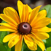 Tiger Eye Gold - Black Eyed Susan