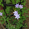 Sugar-Sweet Blue clematis (first year blooms)  3.27.14