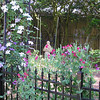 clematis and sweet peas<br /> 4.23.14