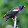 Male Redwing Blackbird