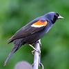 Male Redwing Blackbird