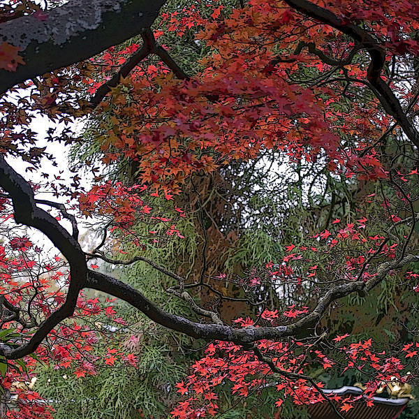 ACER PALMATUM, AUTUMN, MANIPULATED