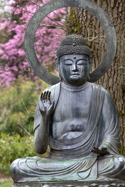 Buddha in front of Prunus 'Shosar'